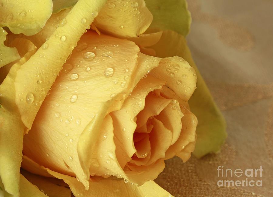 Sunshine Delight Yellow Rose Photograph
