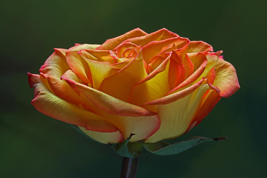 Rose Photograph - Sunshine On My Shoulders by Juergen Roth