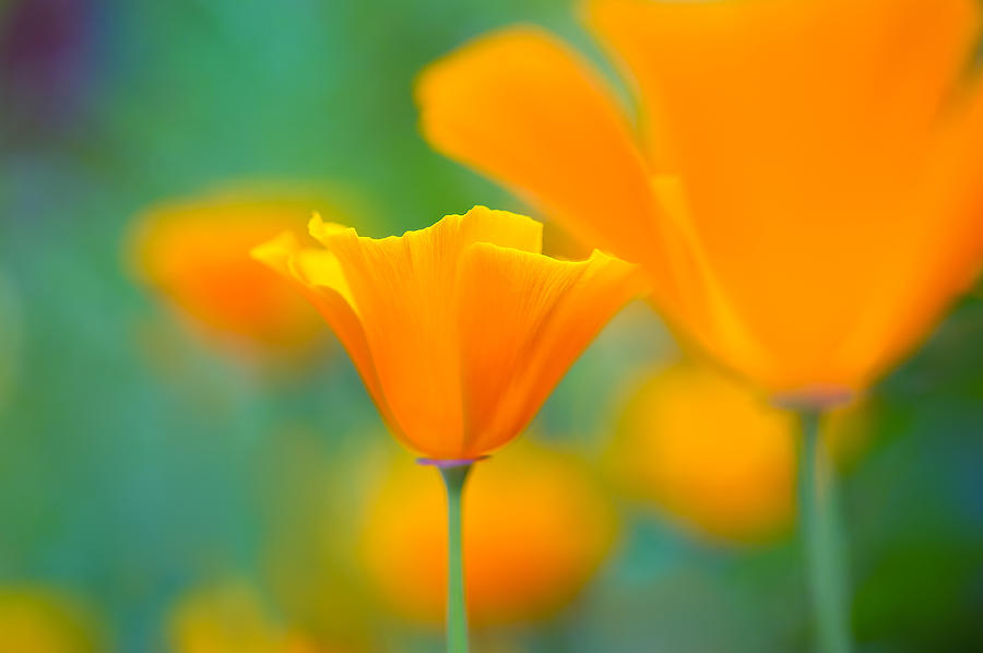 Poppy Photograph - Sunshine Poppy by Sarah-fiona  Helme