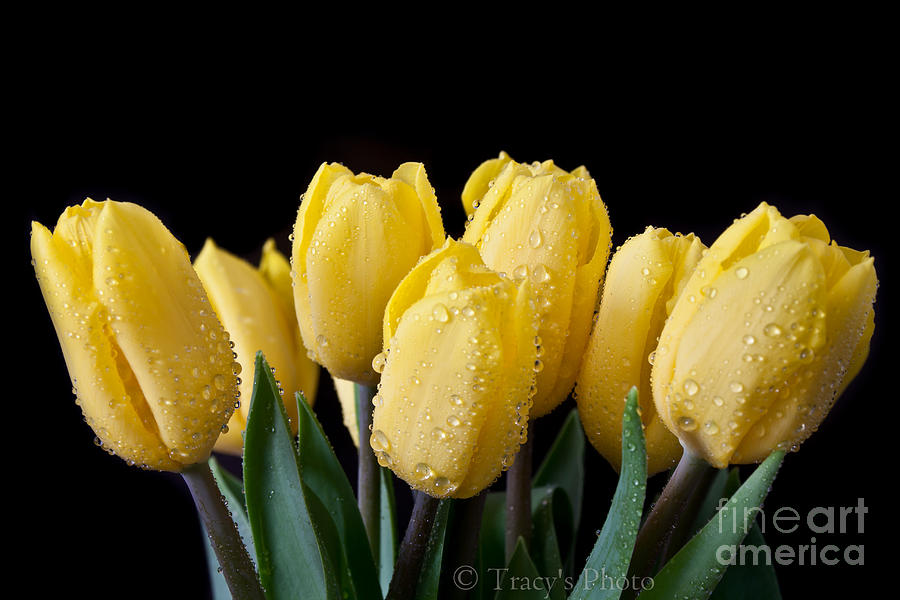 Tulips Photograph - Sunshine Tulips by Tracy  Hall