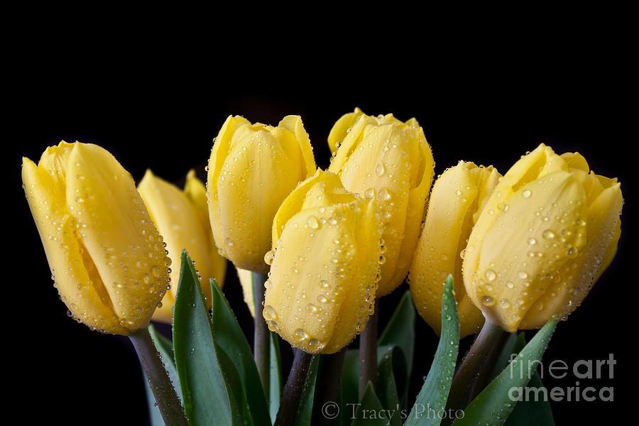 Sunshine Tulips Photograph