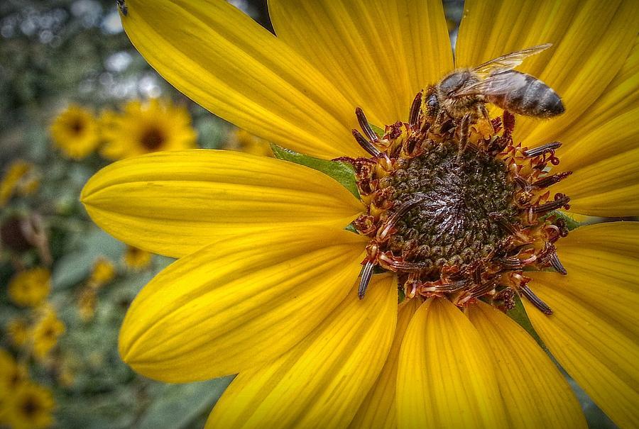 Sunflower Digital Art - Supper Time by Linda Unger