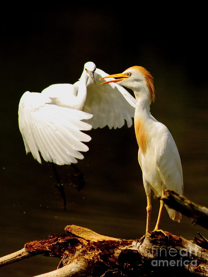 Suprised Cattle Egret Photograph  - Suprised Cattle Egret Fine Art Print