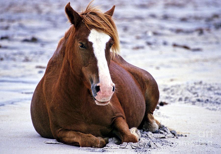 Horses; Wild Horses; Chincoteague; Assateague; Animals Wildlife; Mammals; Wild; Equine; Beach; Seashore; American Wildlife; North America Photograph - Surfer Girl by Chris Scroggins