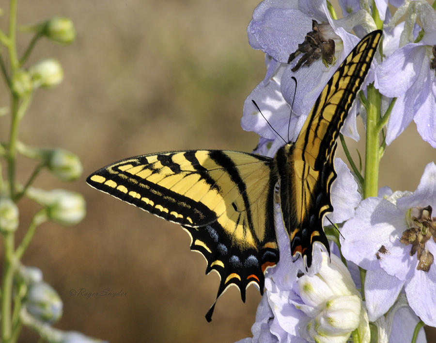 Beautiful Photograph - Swallowtail Butterfly 1 by Roger Snyder