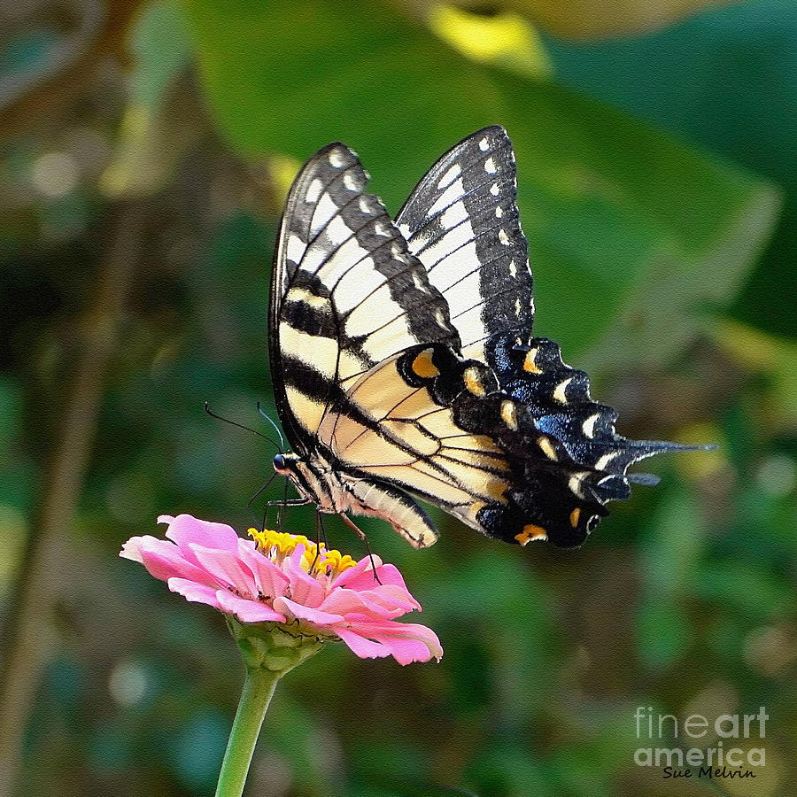 Swallowtail Butterfly 3 Photograph  - Swallowtail Butterfly 3 Fine Art Print