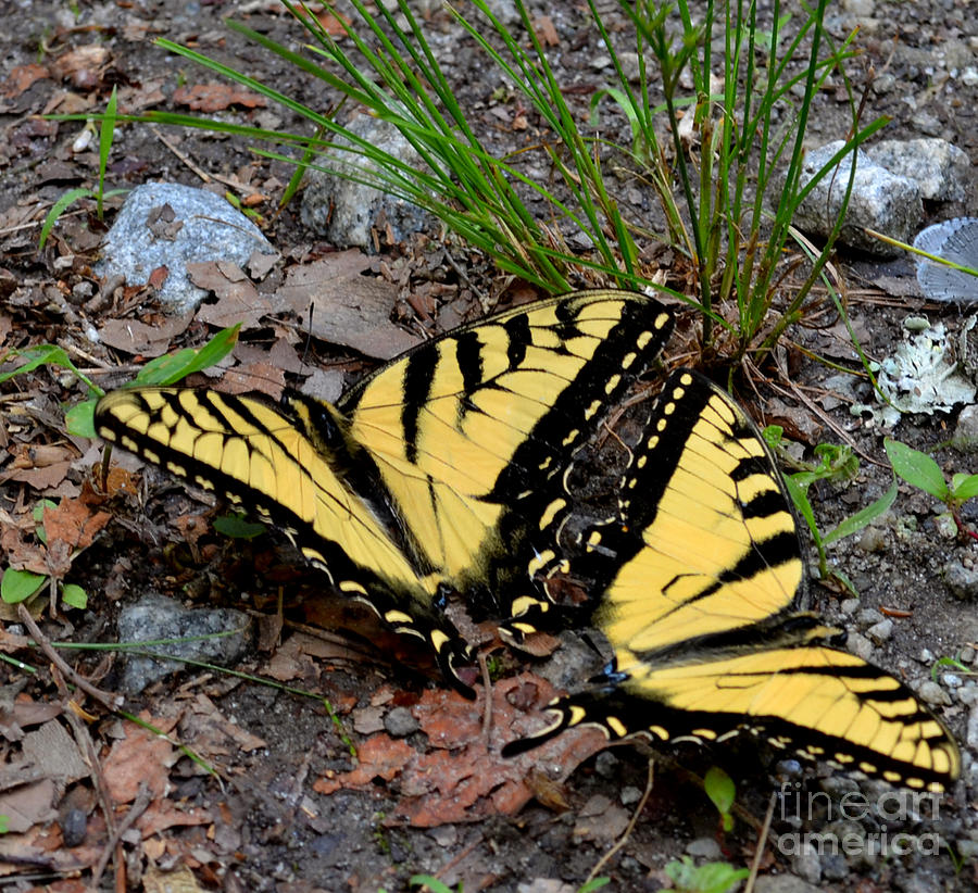 Swallowtail Butterfly Couple Photograph  - Swallowtail Butterfly Couple Fine Art Print
