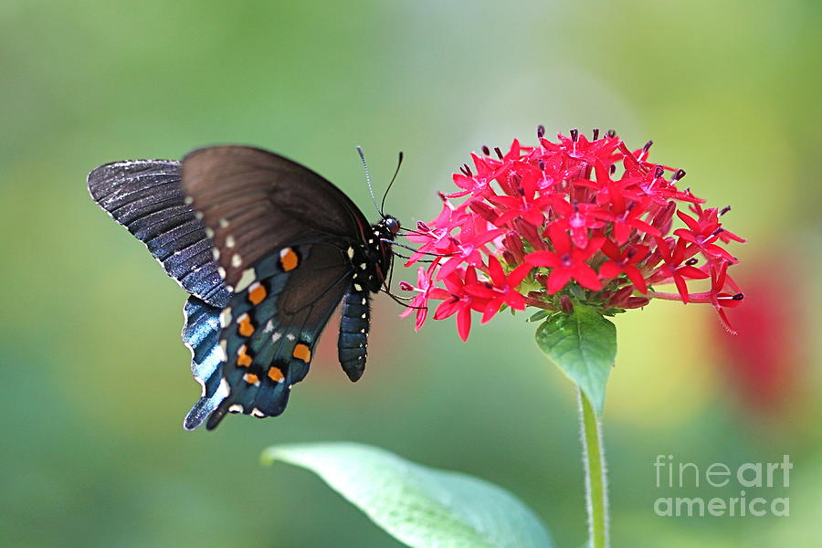 Butterfly Photograph - Swallowtail by Pamela Gail Torres