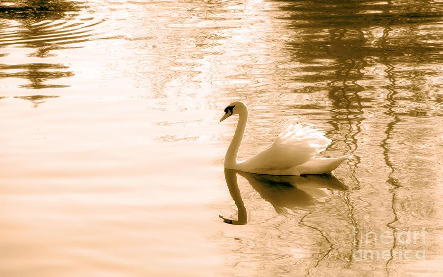 Swan Photograph - Swan by Charline Xia
