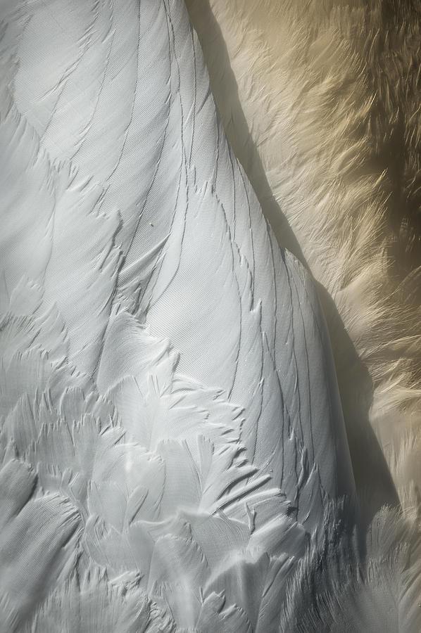 Swan Detail Photograph