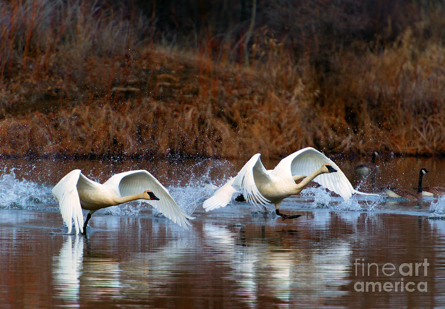 Swans Photograph - Swan Lake by Mike  Dawson