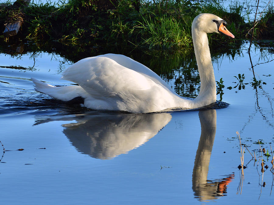 Flight Photograph - Swan Reflection by Barry Goble