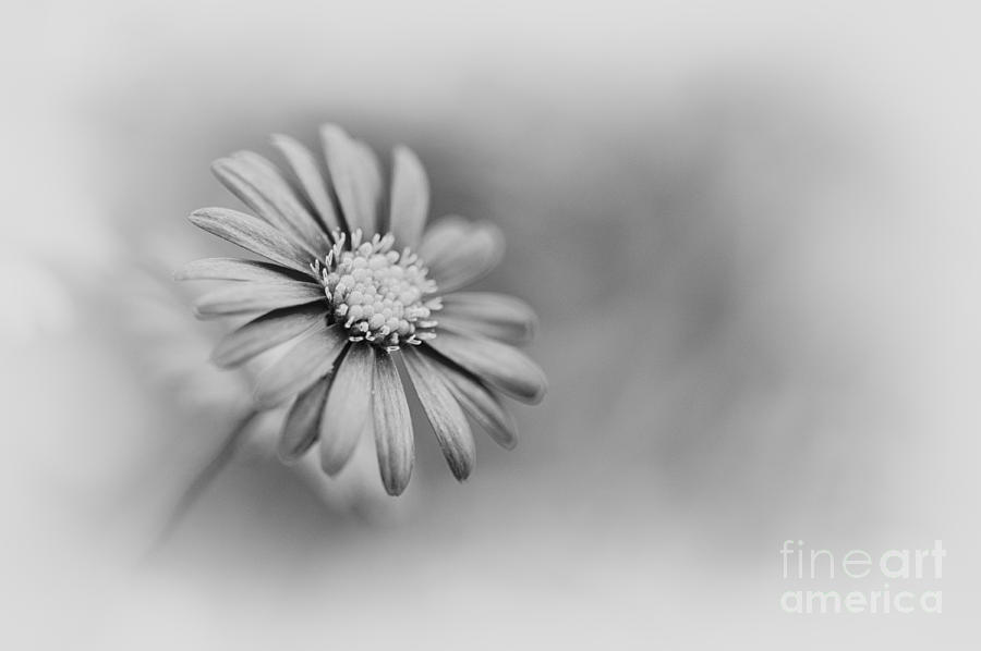 Swan River Daisy Photograph - Swan River Daisy Monochrome by Tim Gainey