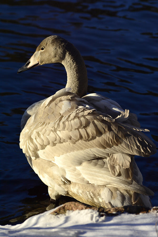 Swan Sits And Looks Out Over The Lake Photograph