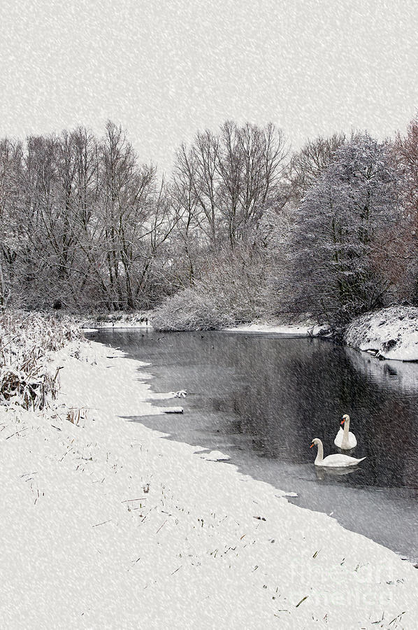Swans In The Snow Photograph  - Swans In The Snow Fine Art Print