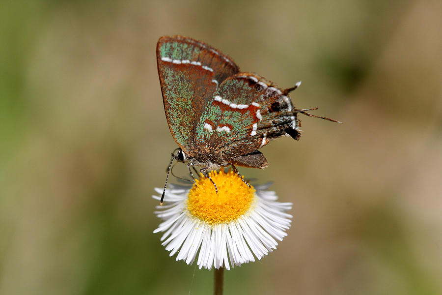 Sweadners Juniper Hairstreak Photograph  - Sweadners Juniper Hairstreak Fine Art Print