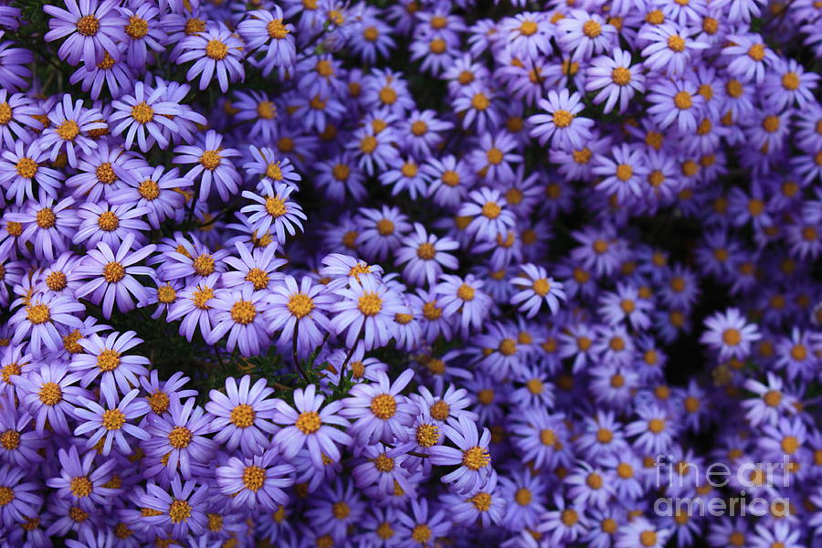 Sweet Dreams Of Purple Daisies Photograph  - Sweet Dreams Of Purple Daisies Fine Art Print