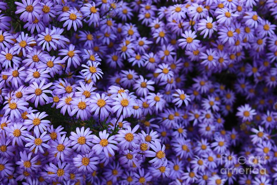 Sweet Dreams Of Purple Daisies Photograph
