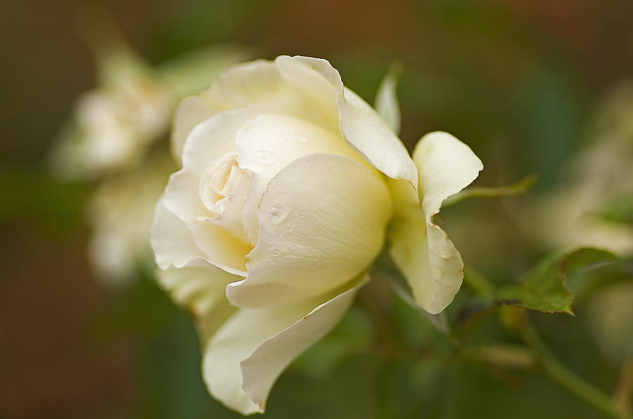 Pacific Photograph - Sweet Home Rose by Nick  Boren