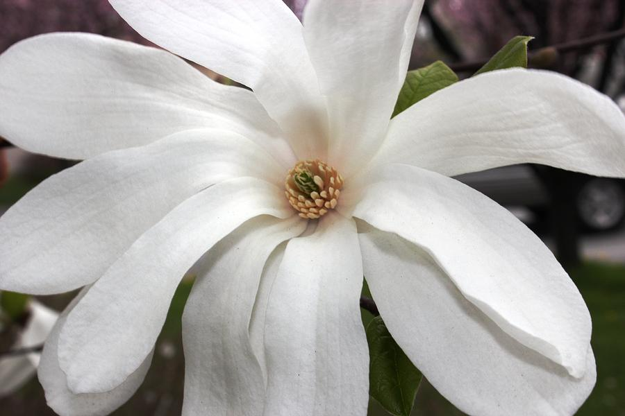 Sweet Magnolia Photograph