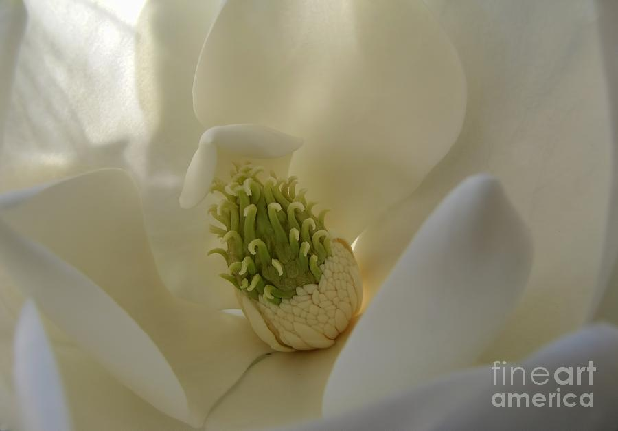 Sweet Magnolia Photograph