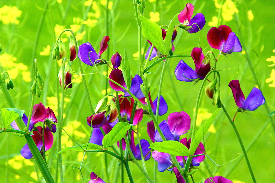 Sweet Peas Photograph