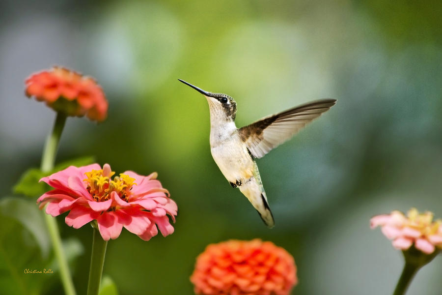 Sweet Promise Hummingbird Photograph