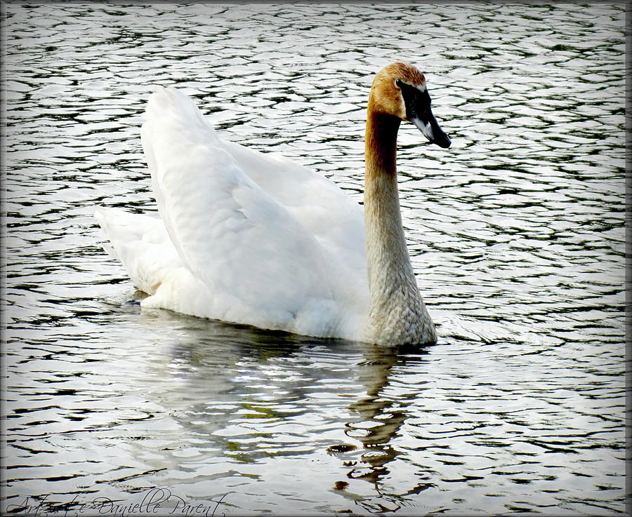 Artiste Danielle Parent Photograph - Sweet Swan Swimming by Danielle  Parent