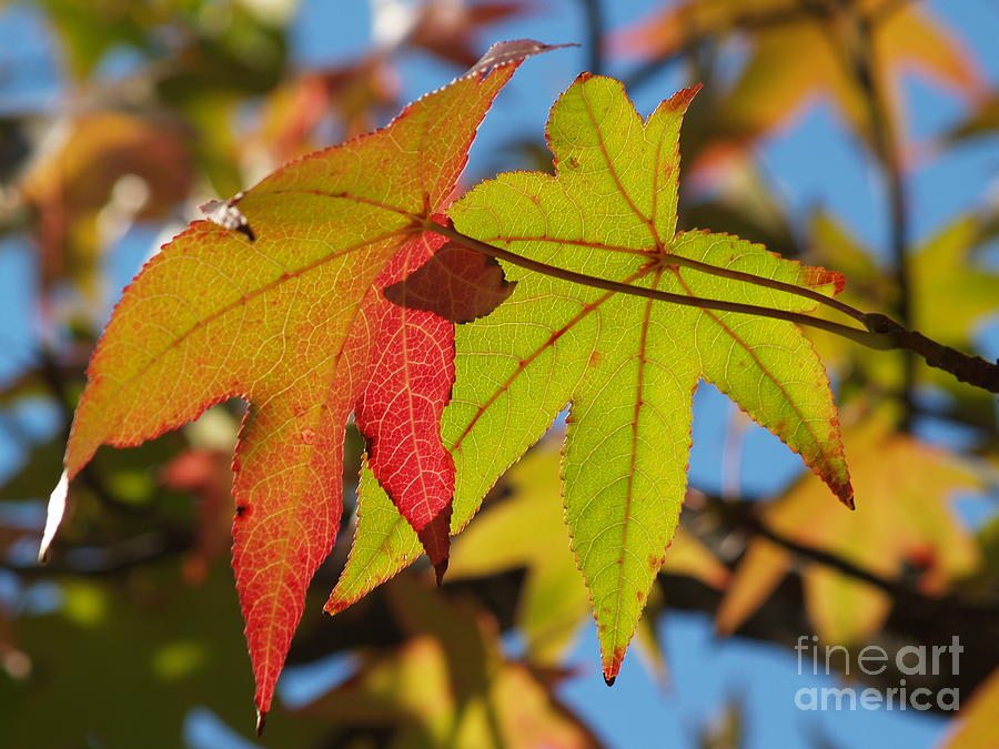 Sweetgum Leaf Pair In Fall Finery Photograph  - Sweetgum Leaf Pair In Fall Finery Fine Art Print