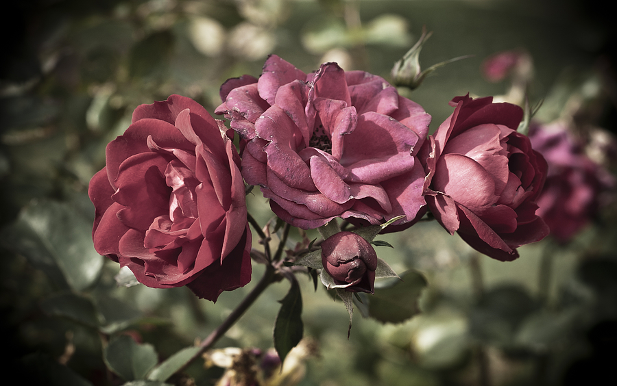 Antiqued Photograph - Sweetly Pink by Christi Kraft