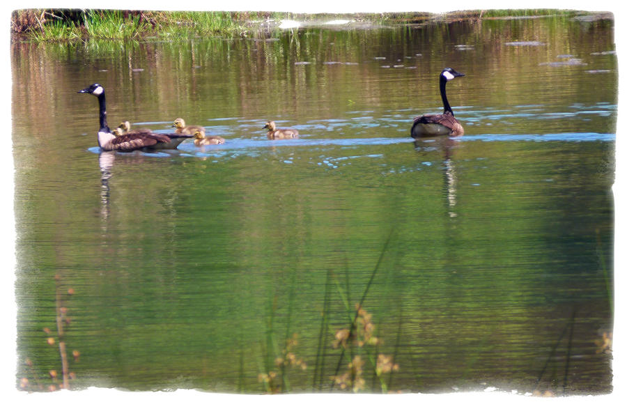 Geese Photograph - Swimming Lessons 3 by Tanya Jacobson-Smith
