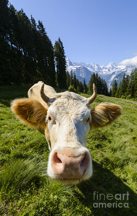 Swiss Cow Photograph
