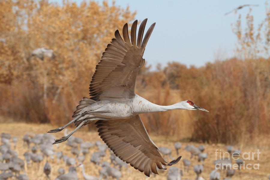 Sandhill Crane Photograph - Swooping Sandhill  by Ruth Jolly
