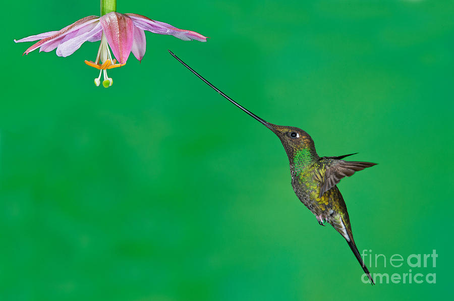 Sword-billed Hummingbird Photograph - Sword-billed Hummer by Anthony Mercieca