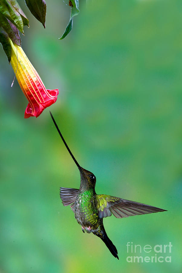 Animal Photograph - Sword-billed Hummingbird by Anthony Mercieca