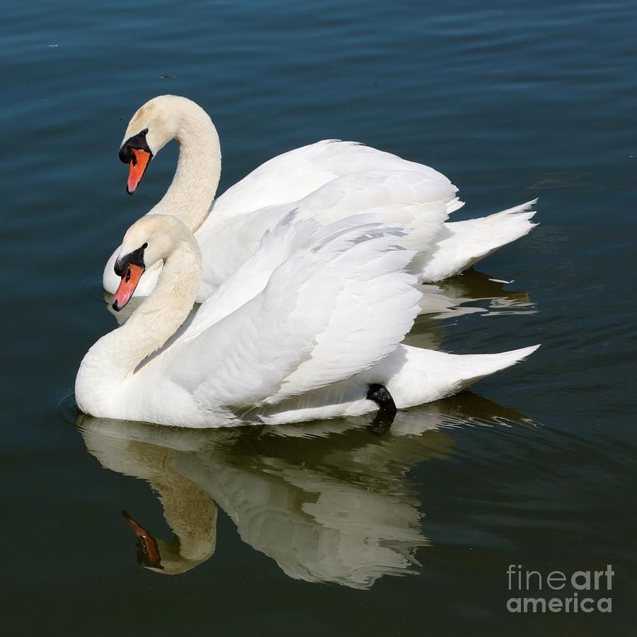 Swan Photograph - Synchronized Swans by Carol Groenen