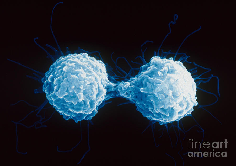 T-lymphocytes Sem Photograph