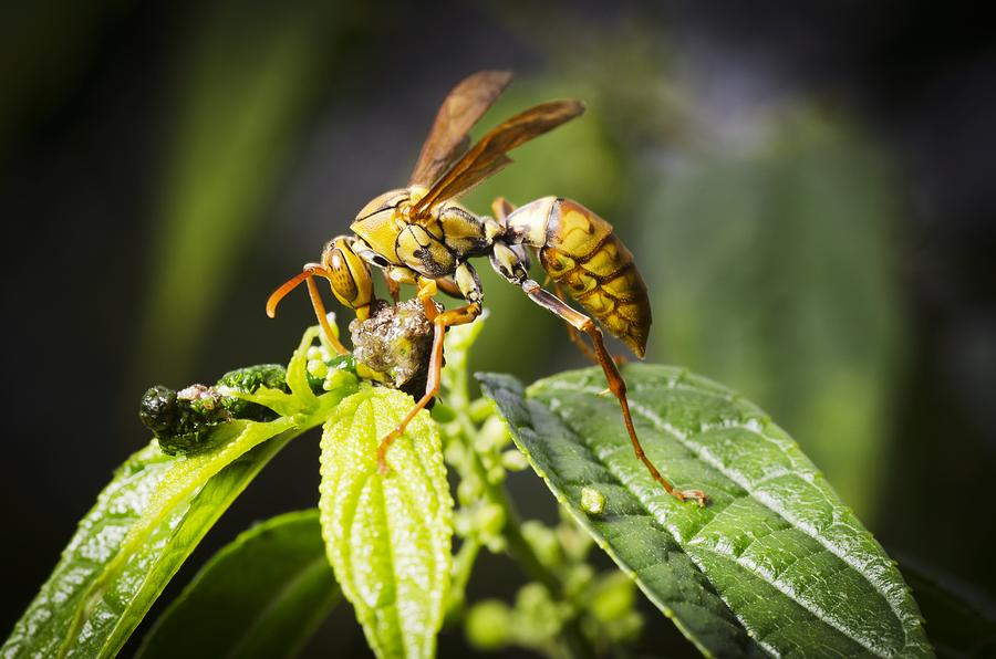 Taiwan Hornet Feeding On A Caterpillar Photograph