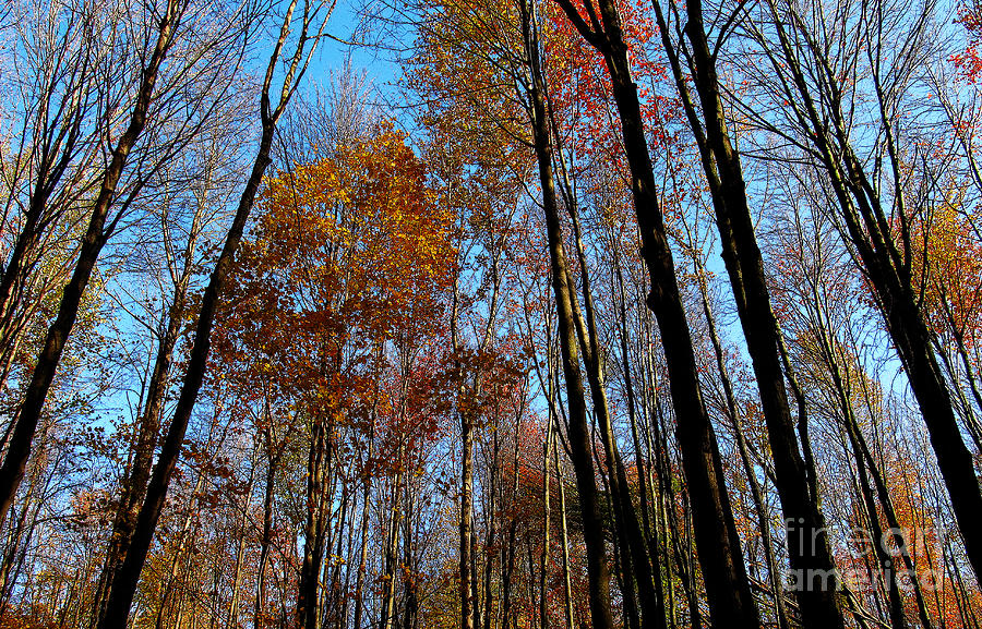Tall Trees Autumn 2011 Photograph