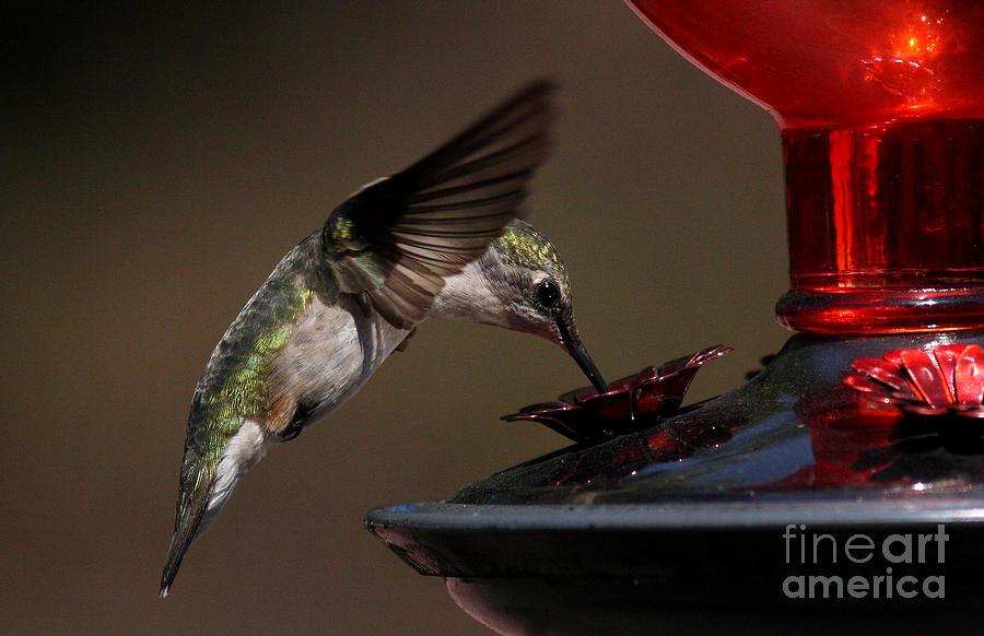 Hummingbird Photograph - Tanking Up by Douglas Stucky