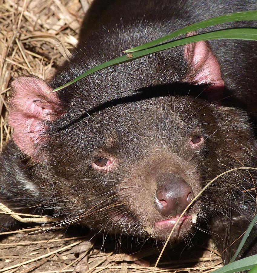 Tasmanian Devil Portrait Photograph