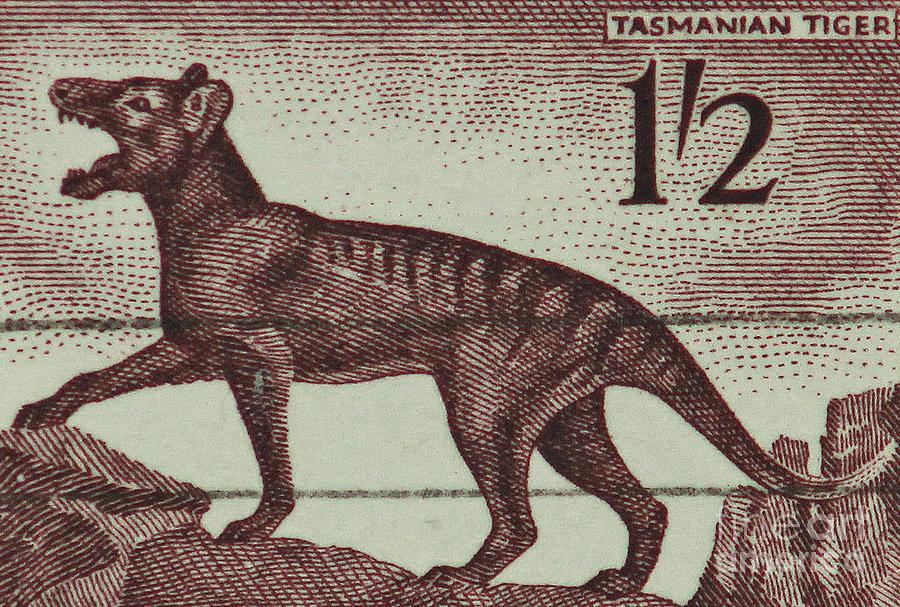 Tasmanian Tiger Vintage Postage Stamp Photograph