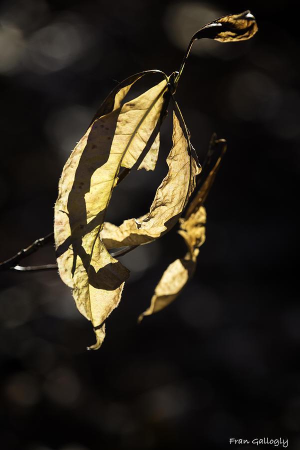 Leaf Photograph - Tattered Leaf by Fran Gallogly
