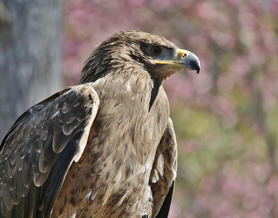 Tawny Eagle Amongst The Cherry Blossoms Photograph  - Tawny Eagle Amongst The Cherry Blossoms Fine Art Print