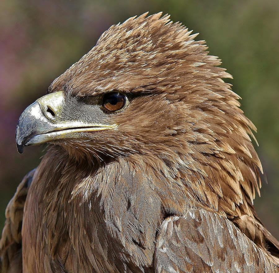 Tawny Eagle Up Close Photograph