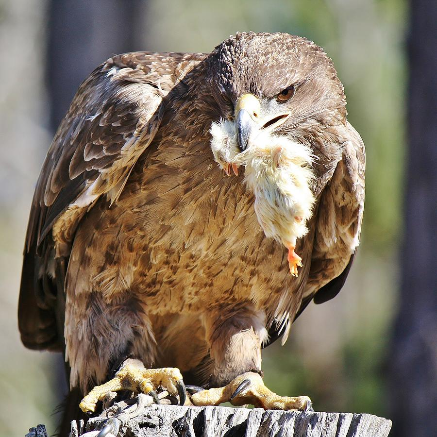 Tawny Eagle With Chicken Dinner Photograph