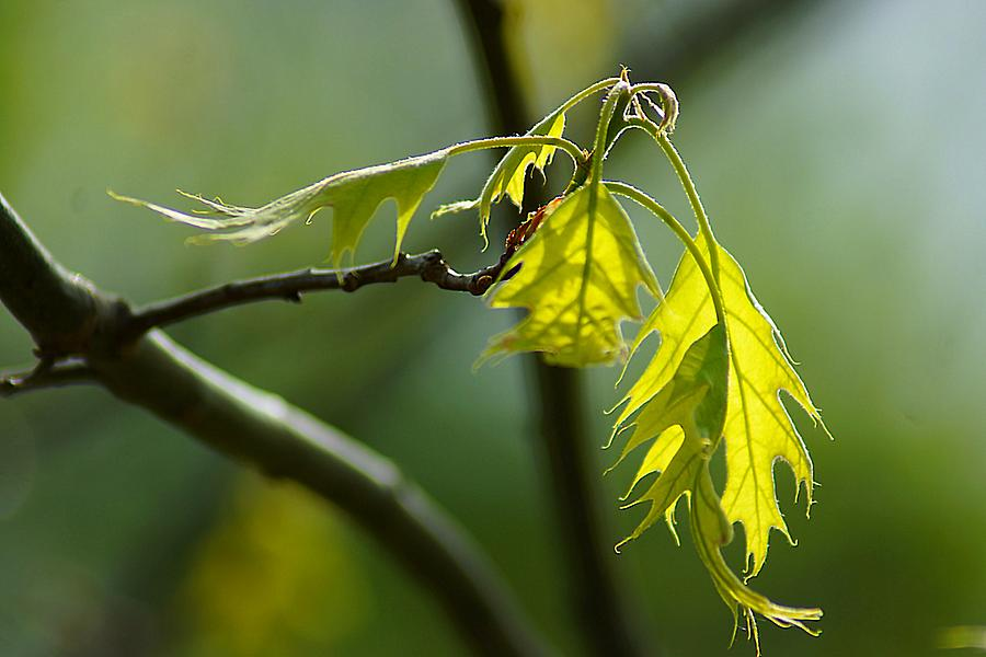 Tender Oak Leaves Emerge Photograph  - Tender Oak Leaves Emerge Fine Art Print