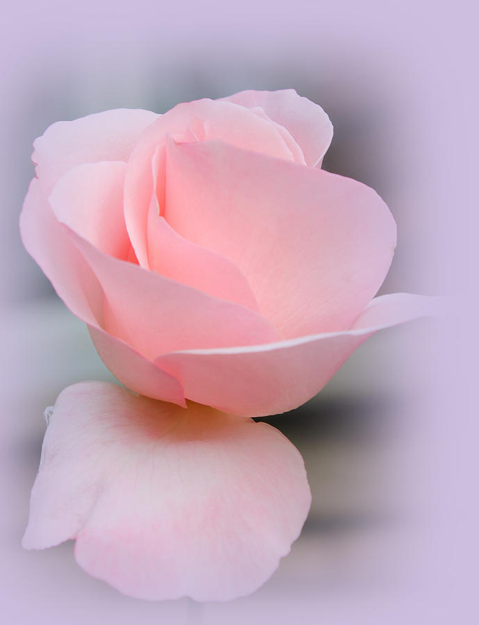 Tenderness Of A Rose Photograph