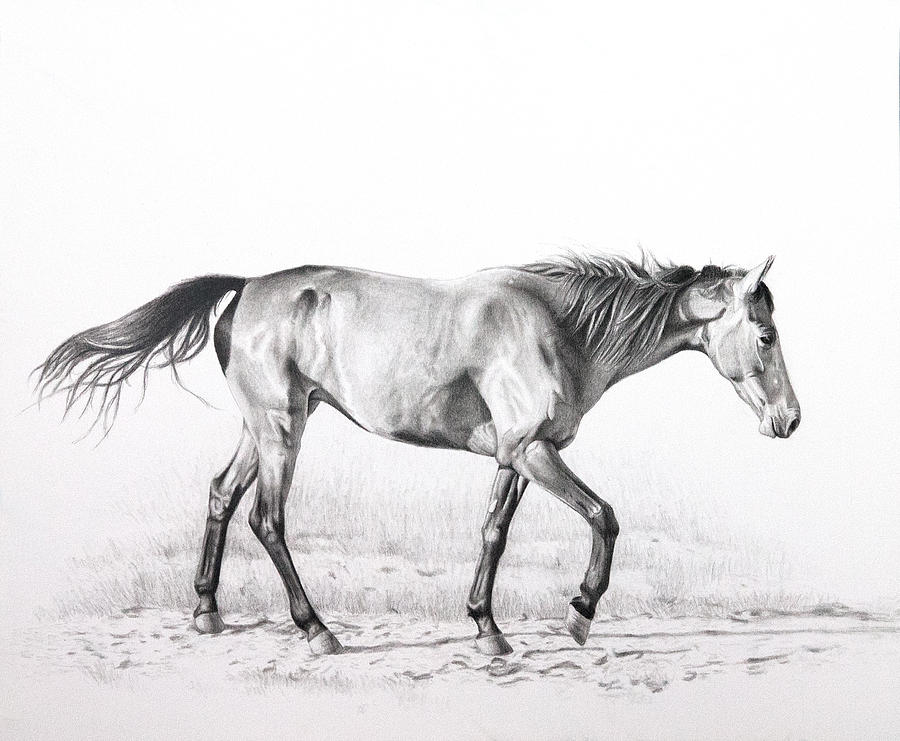 Tennessee Walking Horse Drawing  - Tennessee Walking Horse Fine Art Print