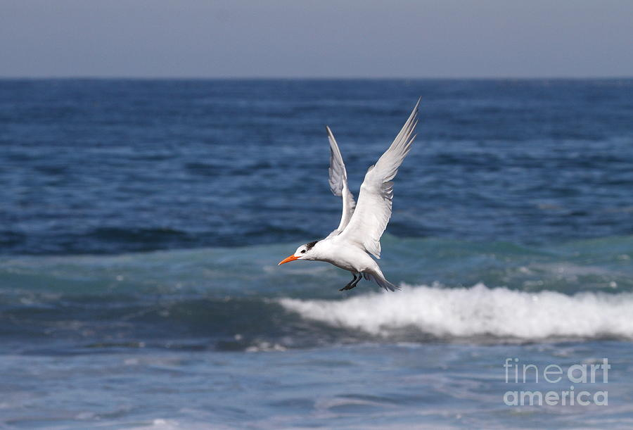 Tern In The Surf Photograph  - Tern In The Surf Fine Art Print